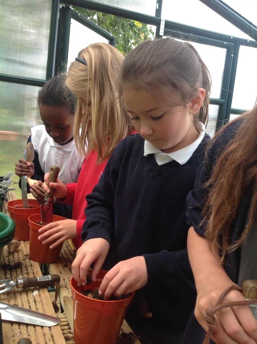 Planting Hyacinth Bulbs for Christmas