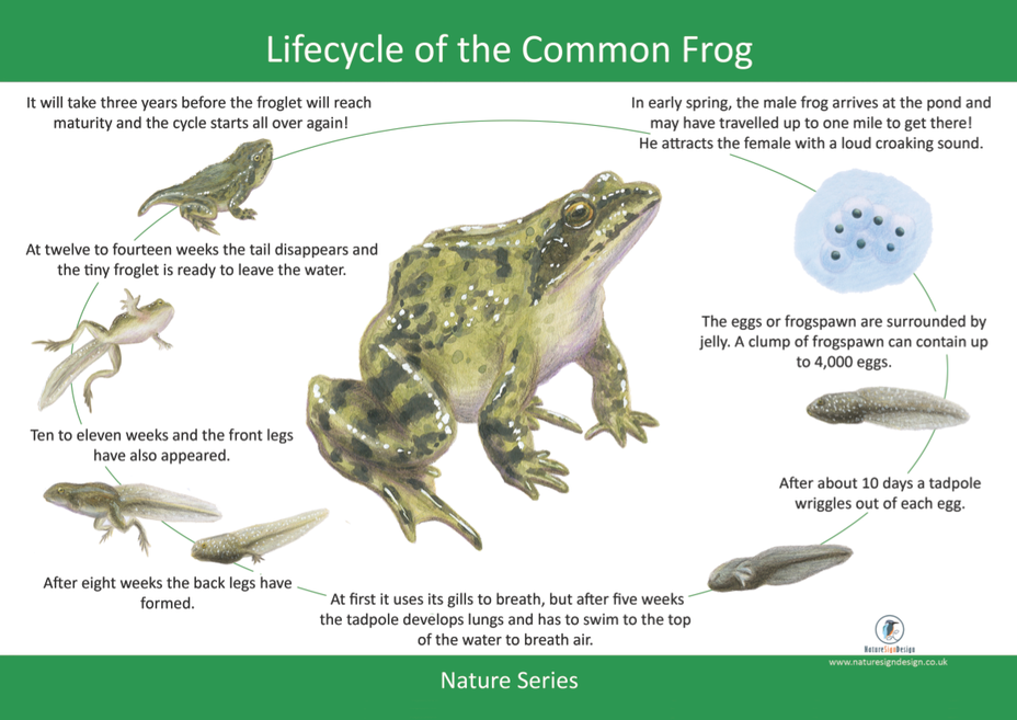 frog lifecyle