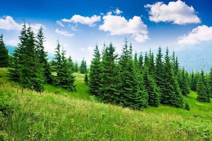 Pine Tree Mr Gray Year 3