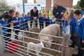Sheep at school