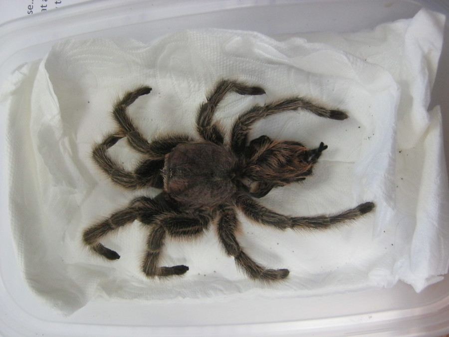 Kyle brought in his Chilean rose hair tarantula skin