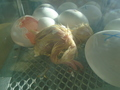 chick action 015.JPG