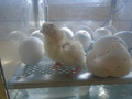 more chick action 001.JPG