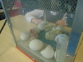 more chick action 008.JPG