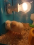 chicks day 3 (2).jpg