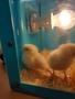 chicks day 3 (3).jpg