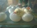 hatching (1).JPG