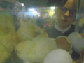 hatching (17).JPG