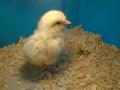 chicks (34).JPG