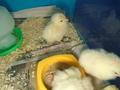 chicks (37).JPG
