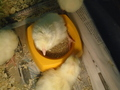 chicks (38).JPG