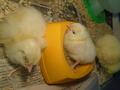 chicks (40).JPG