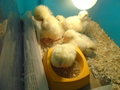 chicks (62).JPG