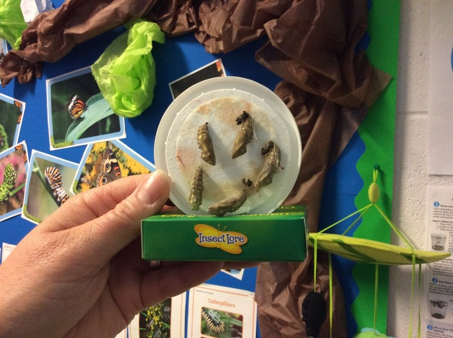 Day 13: As of today our caterpillars have official names and have moved home into our butterfly net!