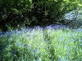 Harrop Wood Bluebells galore.jpg