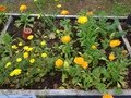 Lots of marigolds for companion planting_.jpg