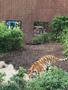 Sarah D tiger zoo 2.png