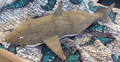 shark 2.PNG