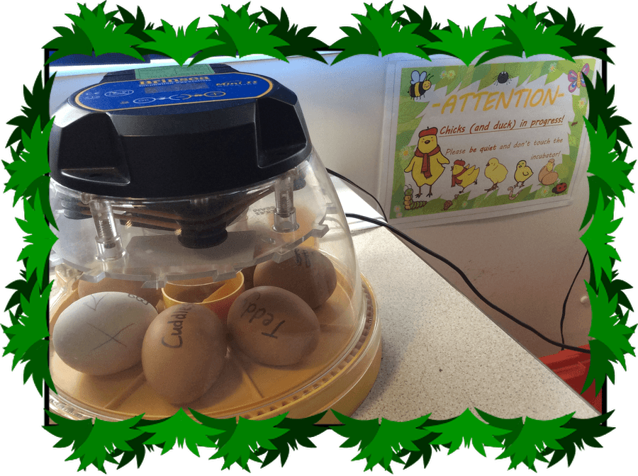 Our chicks in their incubator - the white one is a duckling!
