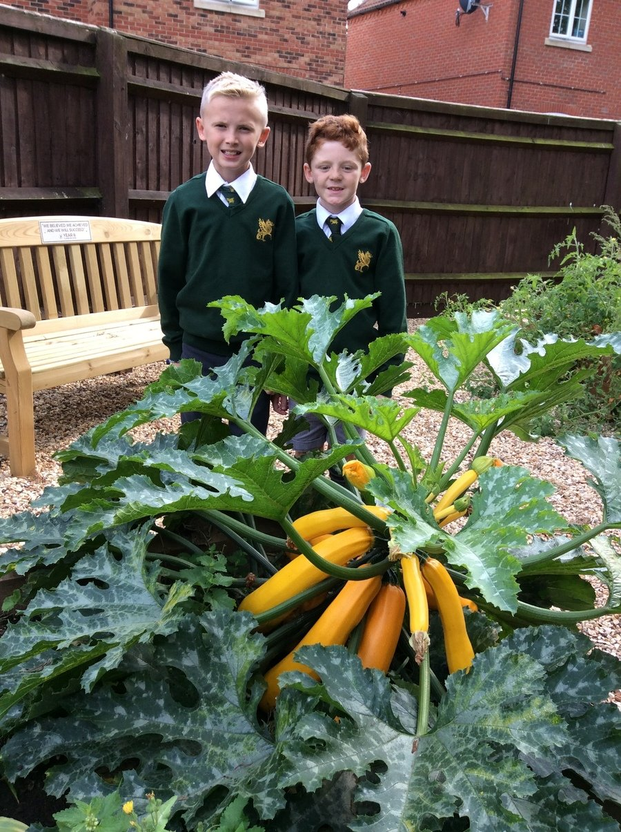 Our giant courgettes!