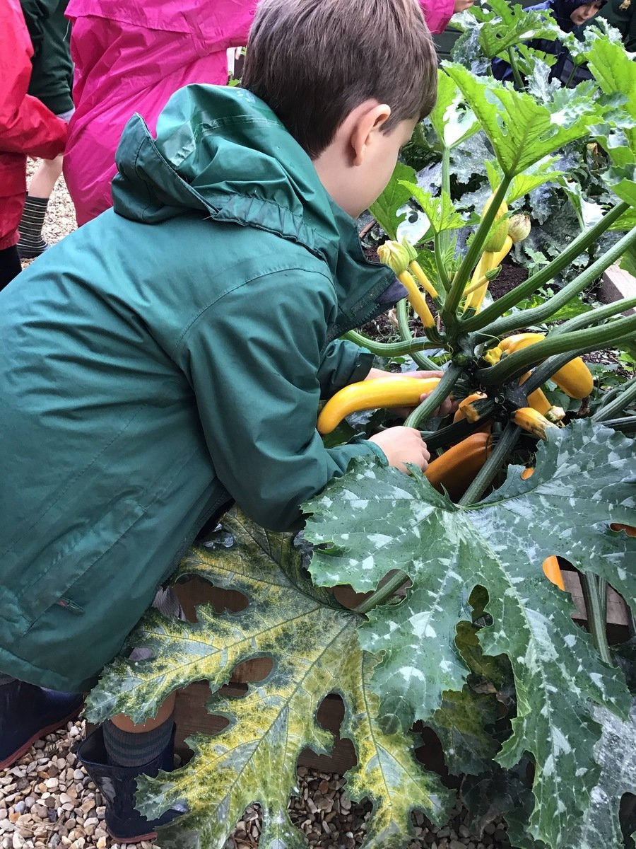 Harvesting our giant courgettes