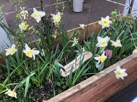 Reception's spring bulbs are beginning to flower