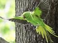 Parakeet.png