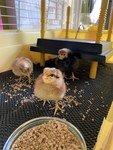 chicks 02.jpg