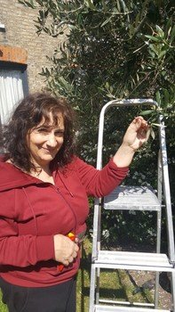 Mrs Brady harvesting her olives