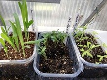 Beba's garden - seedlings copy.jpg