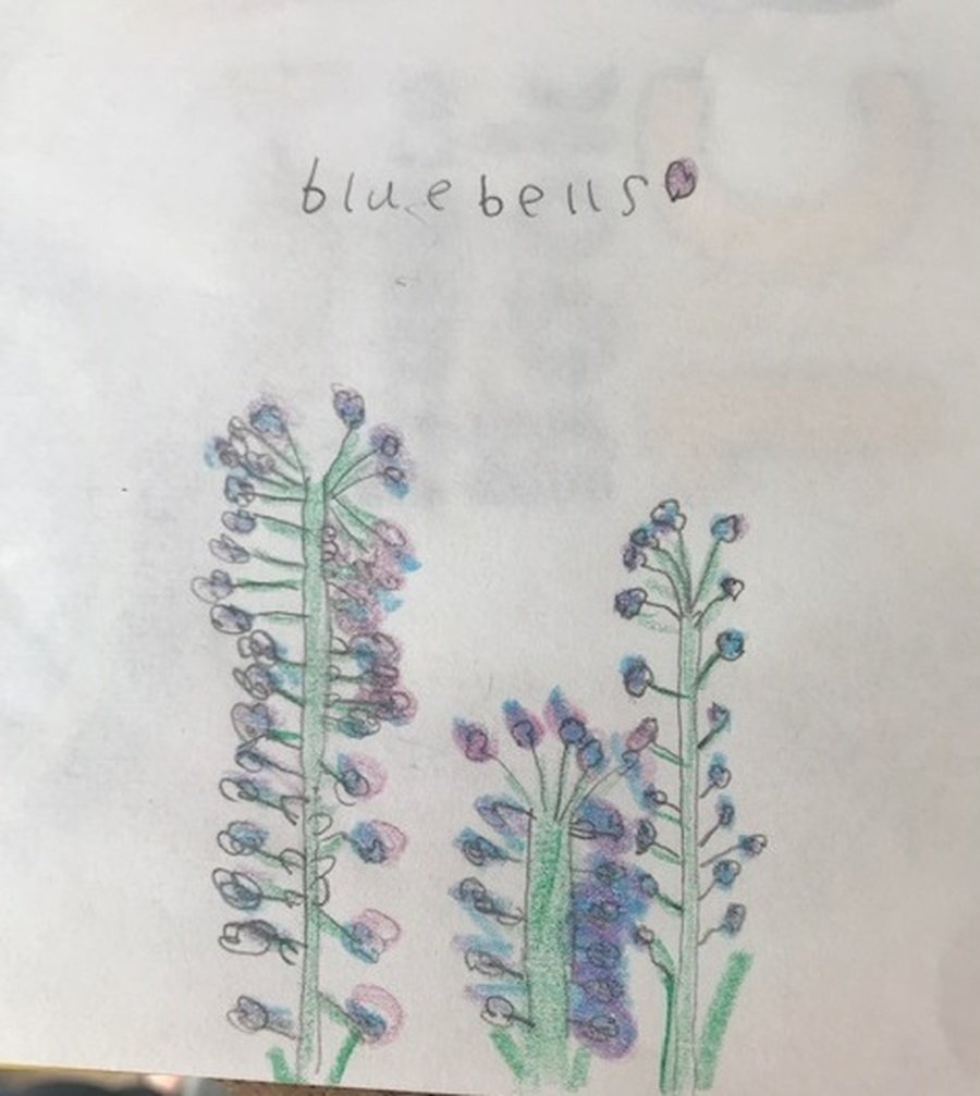 Beautiful bluebell picture by Ava.
