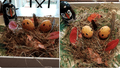 puffineggs2.PNG
