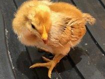 Chick 1 5th May.jpg