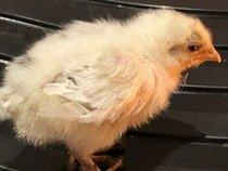 Chick 2 5th May.jpg