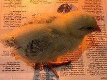 Chick 3 5th May.jpg