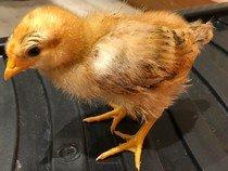 Chick 4 5th May.jpg