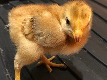Chick 5 5th May.jpg