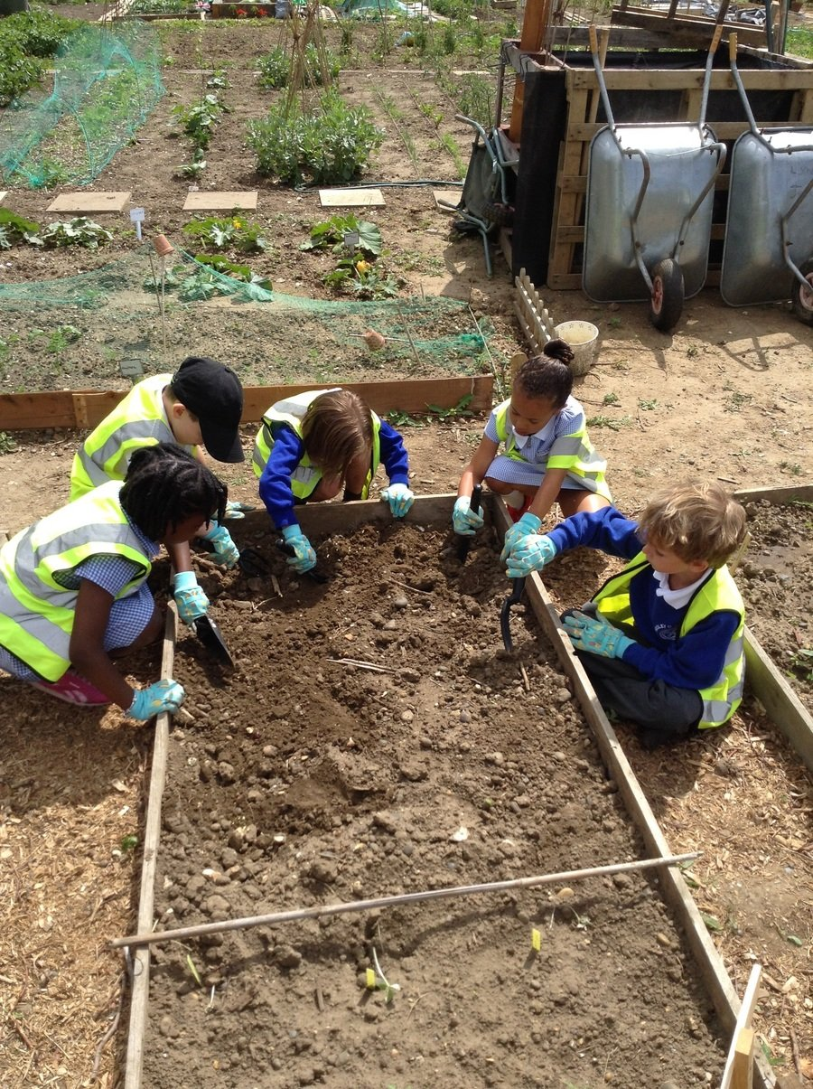Y1 children digging for treasure at Sedley's allotment