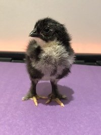 Chick 6.JPG
