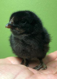 Chick 11...jpg