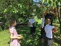 Picking cherries 6.jpg