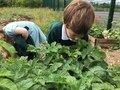 tristan smelling potato plant.jpeg