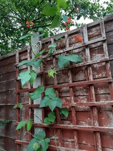 Bean plants MJ.png