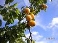 plums (2) (Medium).jpg