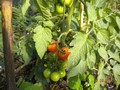 tomatoes (1) (Medium).jpg