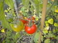 tomatoes (Medium).jpg