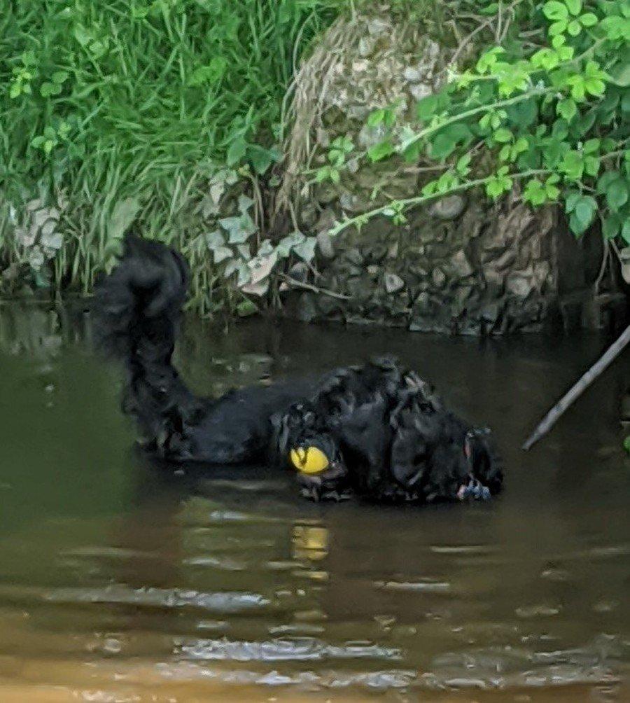I am a Portuguese Water Dog