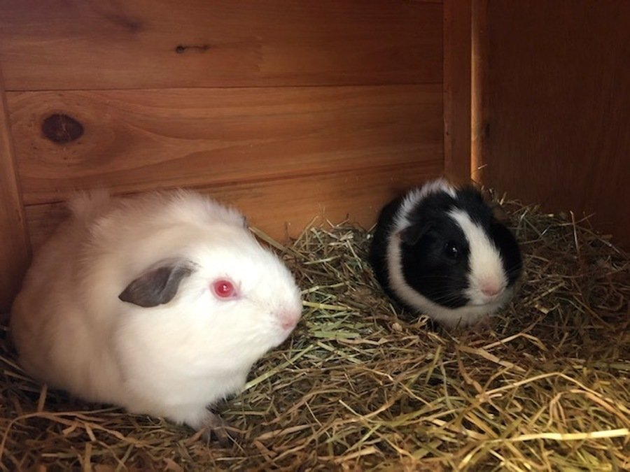 Capel Guniea-Pigs - Luna and Star