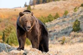 Grizzly-bear-Rocky-Mountains-Wyoming.jpg