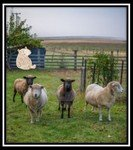 Mon Sheep on a farm.jpg